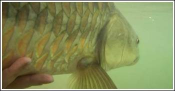 Under water photo of Mahseer ready for release, by Misty Dhillon © 2007